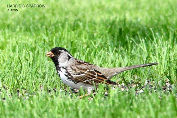 A sparrow is a sparrow is a sparrow: More birdathon fun