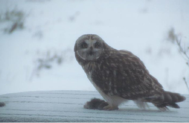 Short eared owl 1 - Charles Welsh