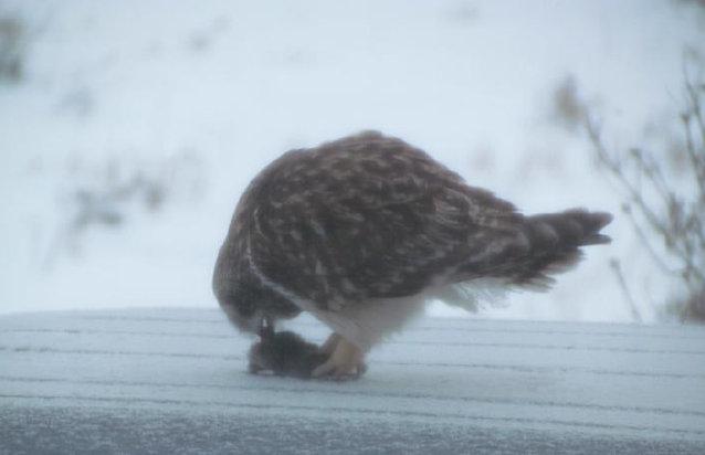 Short eared owl 2 - Charles Welsh