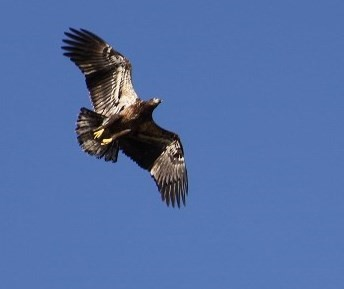 A juvenile Bald Eagle soaring overhead