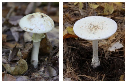 : False Death Cap (Amanita citrina) and Destroying Angel (Amanita virosa)