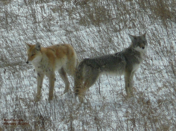 Coyote Watch