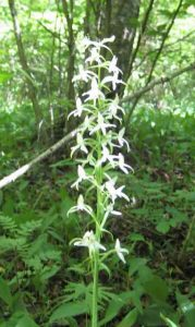 Photo of Greater Butterfly Orchid