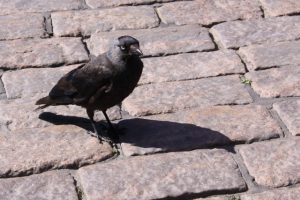 Photo of a Jackdaw