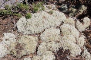 Photo of reindeer moss