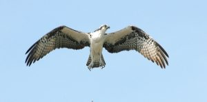 Photo of an Osprey