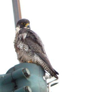 Photo of a Peregrine Falcon