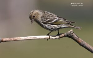 Photo of a Pine Siskin