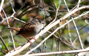 photo of a Swamp Sparrow