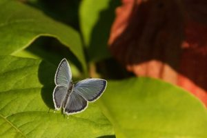 Photo of Eastern Tailed Blue butterfly