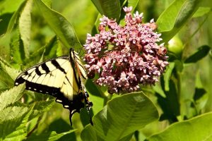 Photo of Eastern Tiger Swallowtail