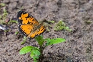 Photo of a Northern Crescent butterfly