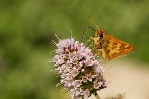 Photo of Peck's Skipper butterfly