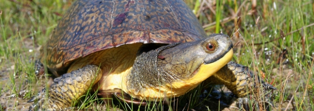 Species in Focus: Blanding's Turtle